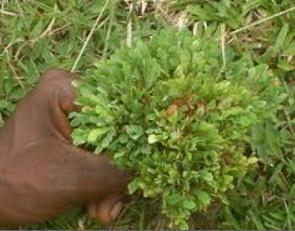 Daun Herbal Penyubur Kandungan