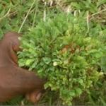 Daun Herbal Penyubur Kandungan dicampur Madu